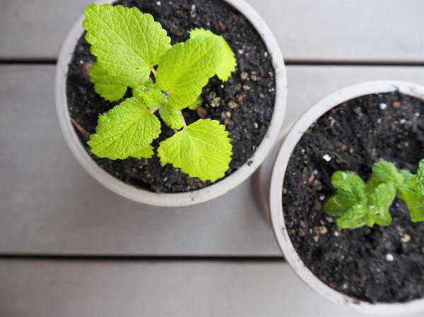 How To Plant Mint - How To Plant Potted Mint