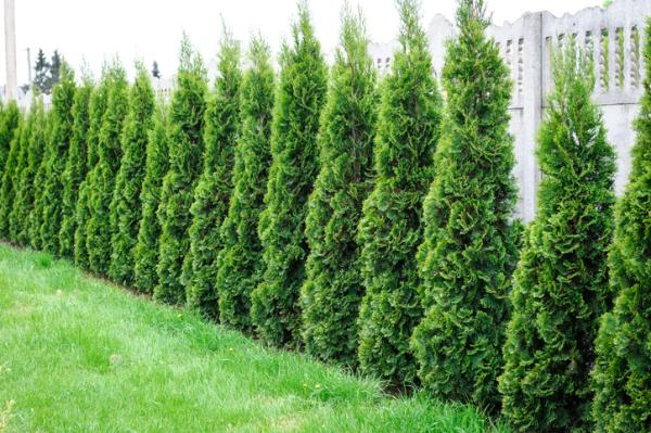 Small trees: names, characteristics and photos - Thuja occidentalis