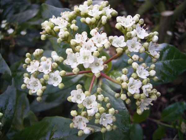 Winter flowering plants for outdoor use - Durillo or wild laurel