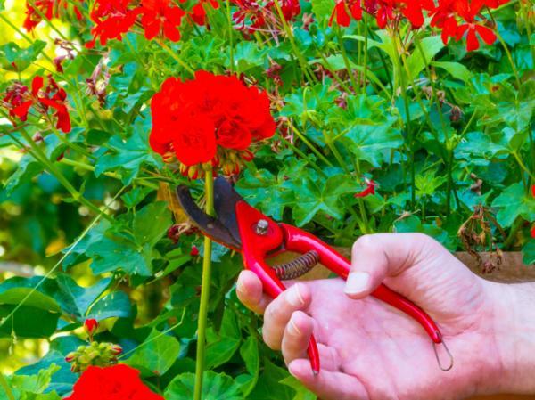 How To Plant Geranium Cuttings - How To Make Geranium Cuttings