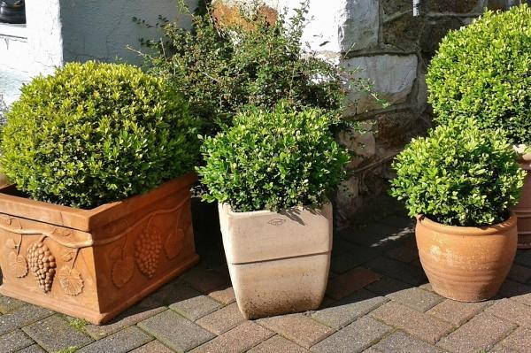 Outdoor potted plants - Boxwood