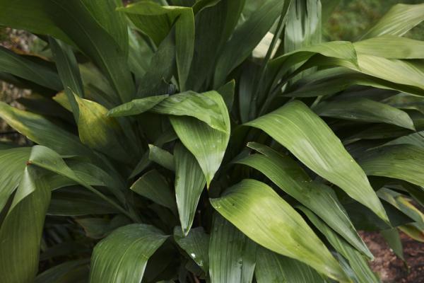 Outdoor potted plants - La aspidistra