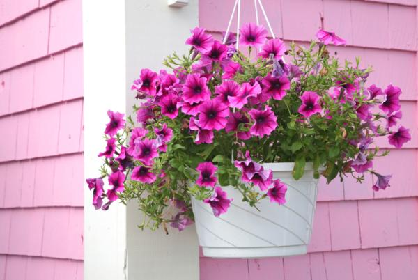 Potted Outdoor Plants - Petunia