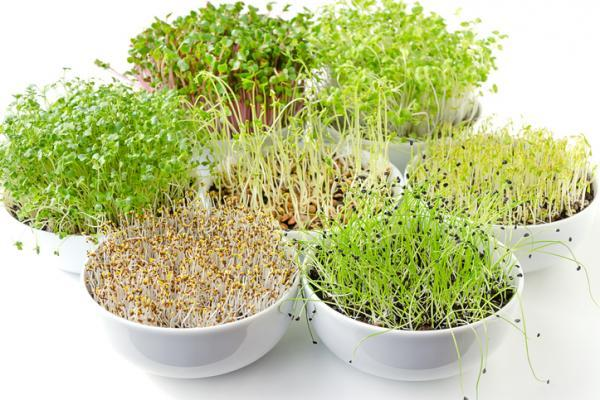 Types of sprouts and how to make them - Types of edible sprouts - the best