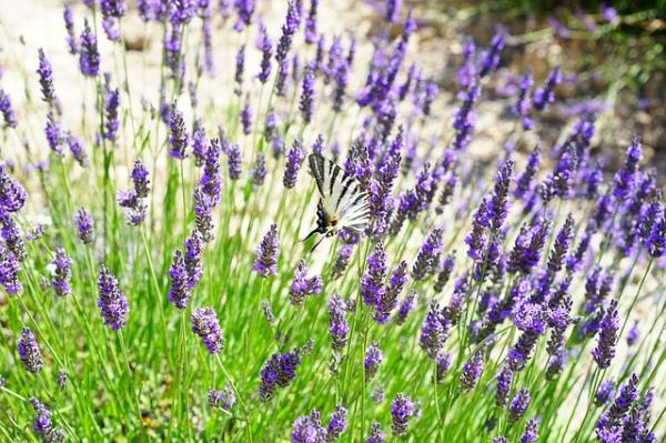 Wildflowers: names and photos - Lavandula officinalis or lavender