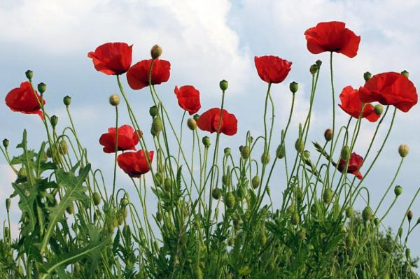 Wild flowers: names and photos - Papaver rhoea or wild poppy