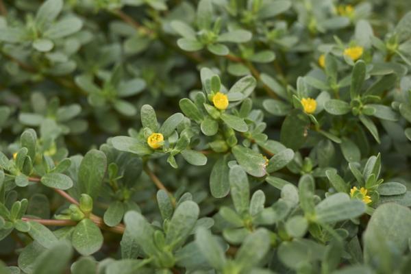 Wild flowers: names and photos - Portulaca oleracea or purslane