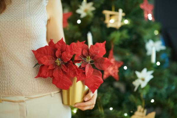 Watering the poinsettia: how often and how to do it - When to water the poinsettia