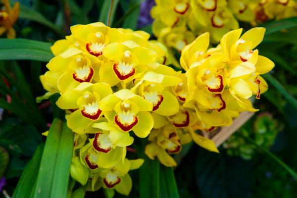 12 types of orchids - Cymbidium Orchid