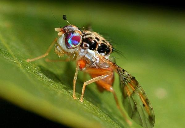 How to get rid of fruit flies - How to get rid of fruit flies in the kitchen