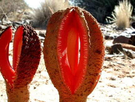 The rarest plants in the world and their names - Parasitic plants