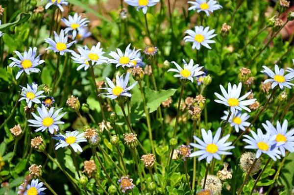 Types of Daisies - Felicia (Felicia amelloides)