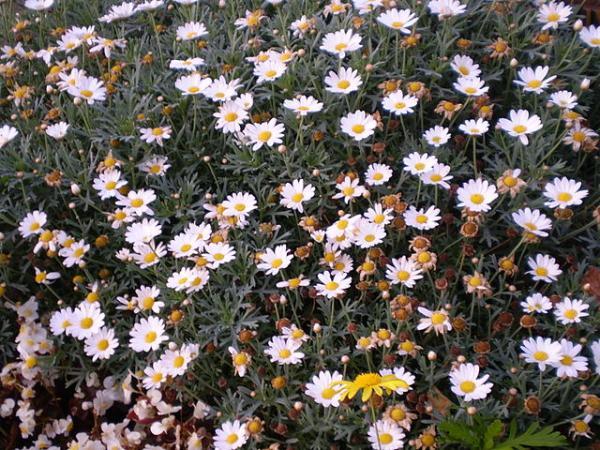 Types of Daisies - Shrub Daisy (Chrysanthemum frutescens)