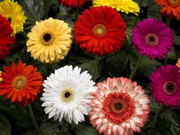 Types of daisies - Gerbera daisy (Asteraceae)