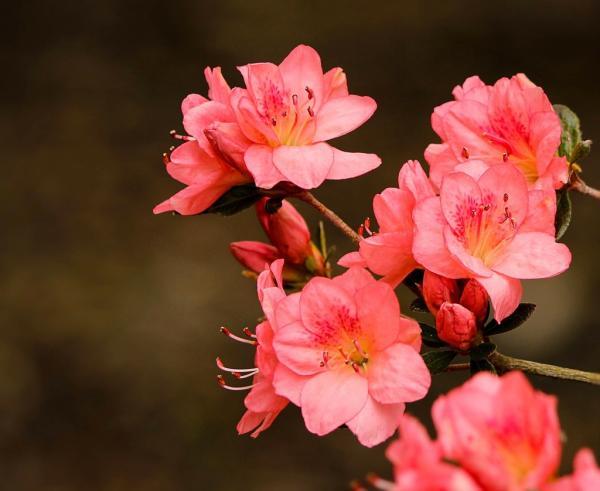 Azalea plant: care and characteristics - Azalea plant: planting and reproduction