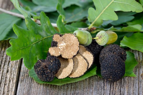 How to grow truffles - How to choose host plant for truffles