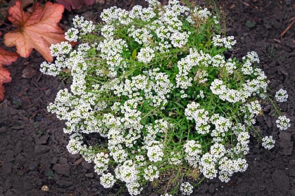 Maritime lobularia care - Soil and compost for alyssum