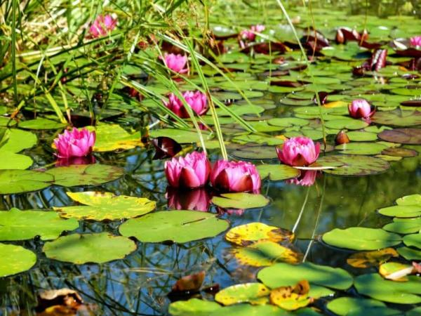Water lily care - Meaning of water lilies