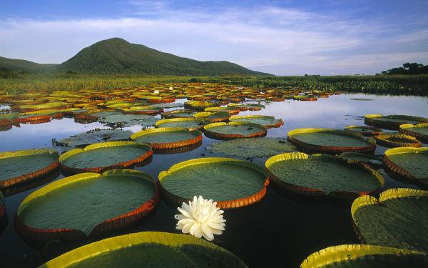 Water lily care - Types of water lilies, nymphs or water lilies