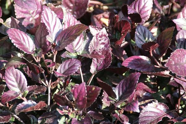 Plants with colored leaves - Hemigraphis alternata or red ivy