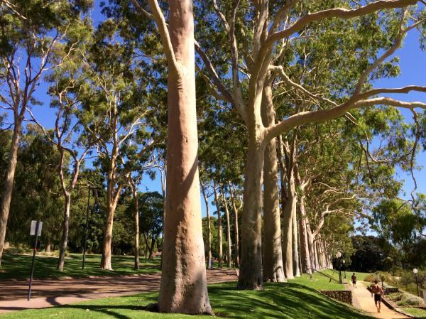 Types of Eucalyptus - Eucalyptus citriodorus