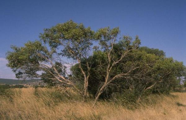 Types of Eucalyptus - Eucalyptus incrassata