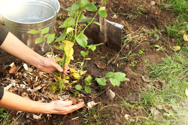How to make a mulch for plants or mulching - How to make a mulch for plants or mulching step by step