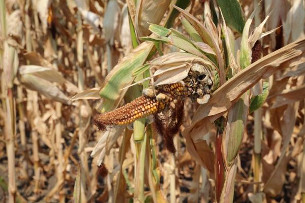 Corn pests and diseases and their control - Carbon spike