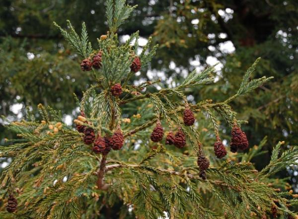 15 Pinecone Trees - California Redwood, one of the tallest pinecone trees