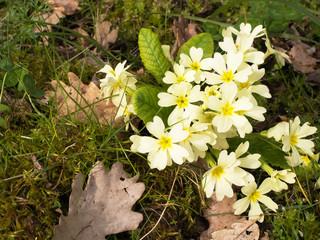 Primula vulgaris. Common wild primrose, aka P. acaulis.
