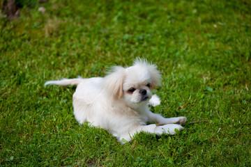 Minihund