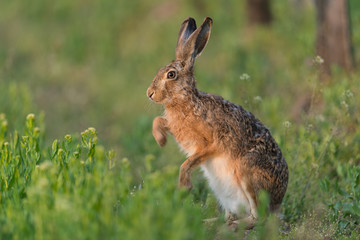 Europäischer Feldhase, Brown hare, Lepus capensis