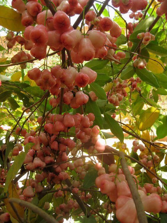 jambu air- water guava, Syzygium aqueum