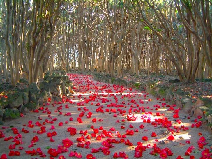 萩笠山椿群生林