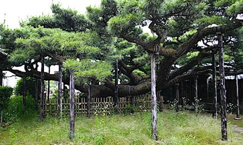 永安寺 雲竜の松