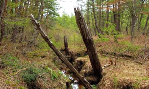 猿ヶ森ヒバ埋没林