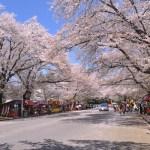 小林牧場の桜並木