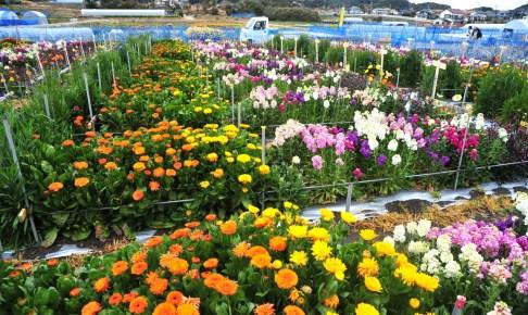 平磯のお花畑