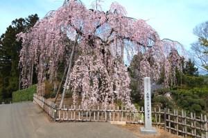 土橋のおかめ桜