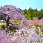 合戦場のしだれ桜