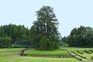 杉沢の大杉