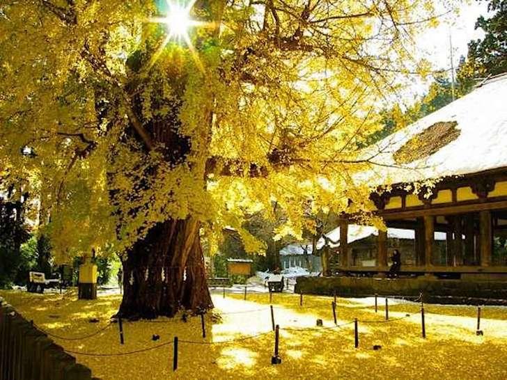 長床の大イチョウ(新宮熊野神社)