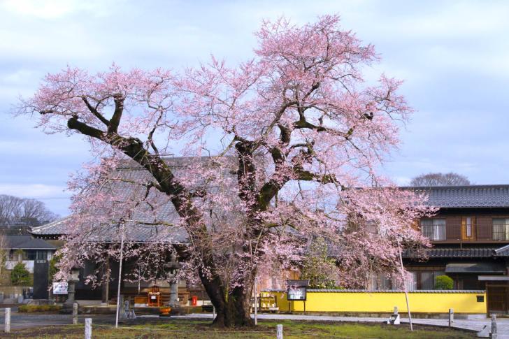 歓喜寺の江戸彼岸桜
