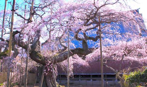 般若院のしだれ桜