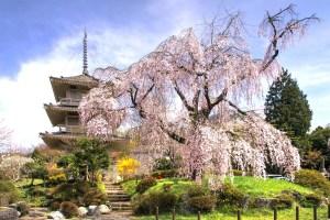 浄専寺の枝垂桜