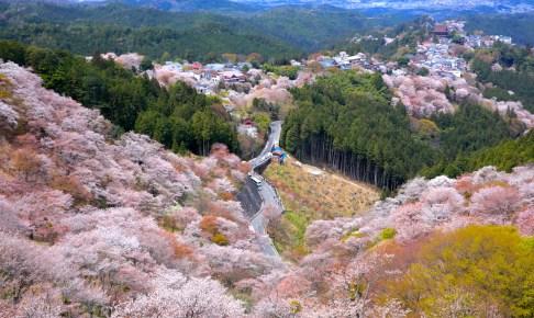 吉野山・上千本