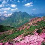 大船山(大船山のミヤマキリシマ群落)