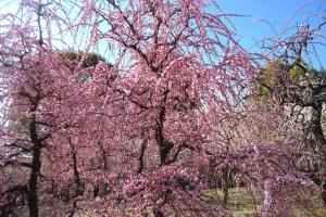 城南宮『枝垂梅と椿まつり』
