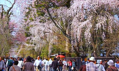 角館の桜まつり