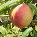 小杉園(鎌ケ谷市観光農業組合)『桃もぎとり』